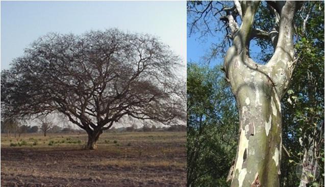 Caesalpinia paraguariensis sistema nacional argentino de - Caesalpinia gilliesii cultivo ...