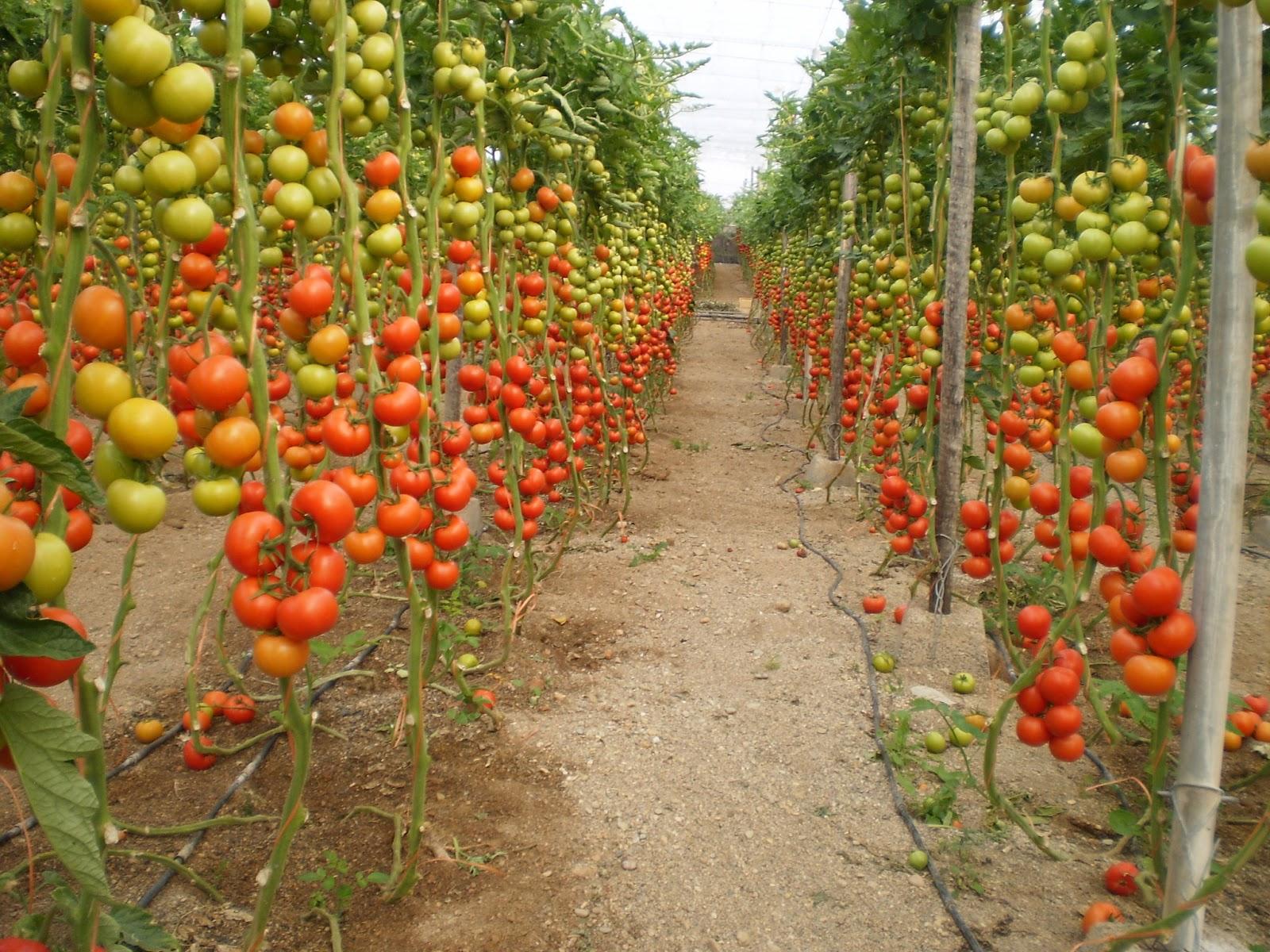 Solanum lycopersicum sistema nacional argentino de - Tutores para tomates ...